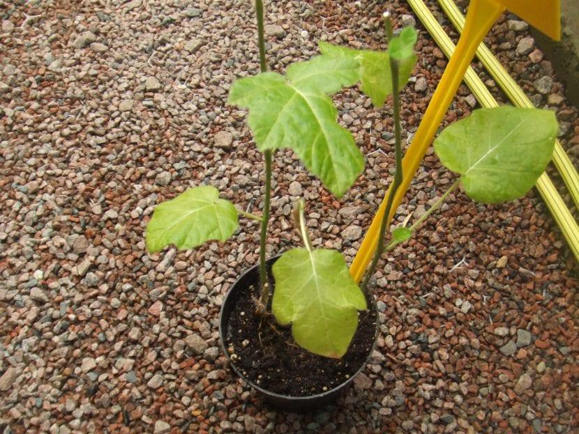 Multiplicar el lulo por semillas es fácil