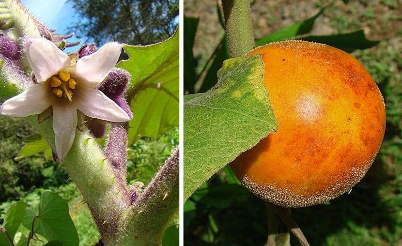 Vista de la flor y fruto maduro del lulo