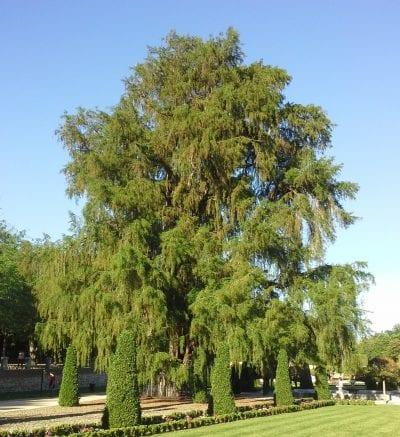 Taxodium mucronatum