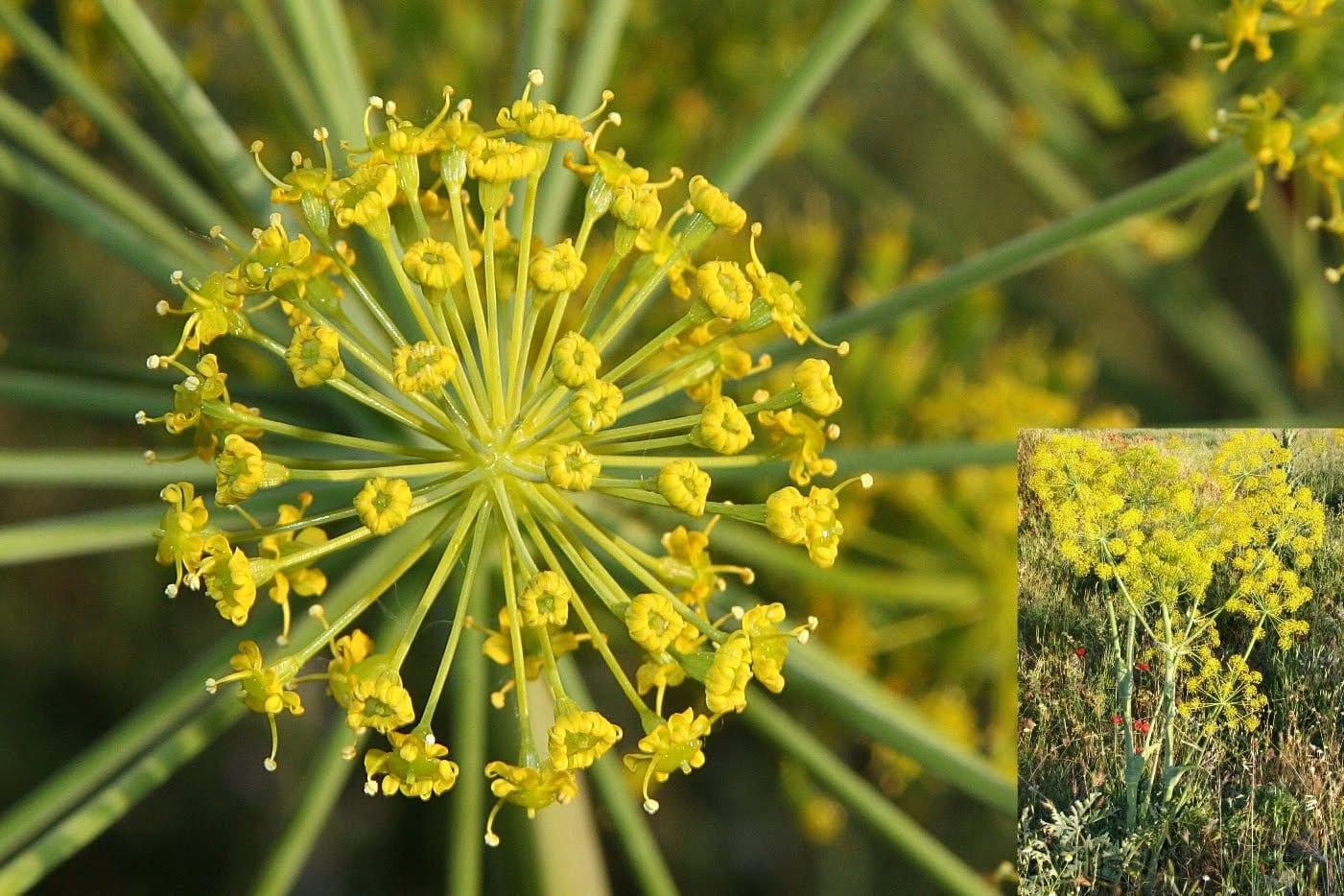 Thapsia villosa en flor