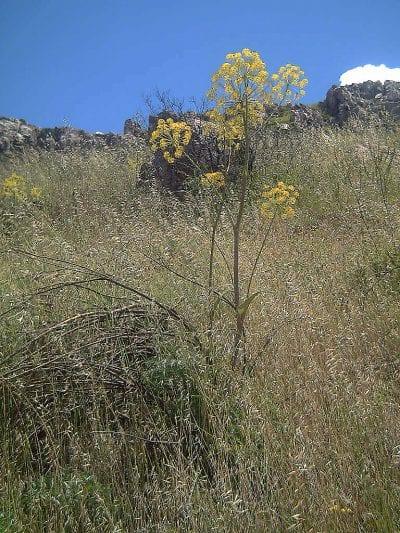 Thapsia villosa en hábitat