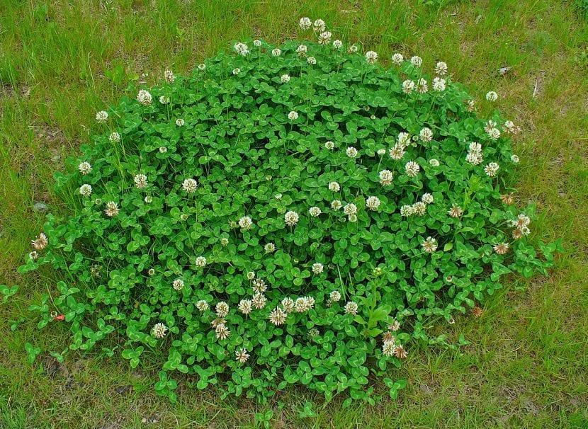 Trébol blanco o Trifolium repens
