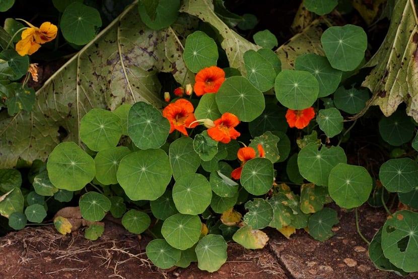 Las capuchinas son plantas que pueden tener un porte erguido, trepador o postrado