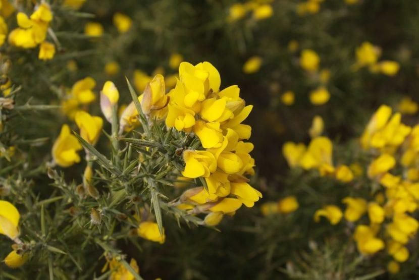 Planta de Ulex europaeus o toxo