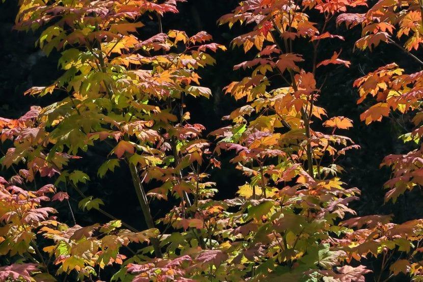 Vista de un Acer circinatum