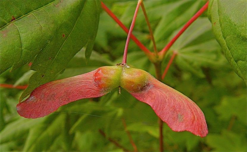 Semillas del Acer circinatum