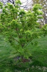 Vista del Acer palmatum 'Sango kaku'