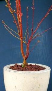 Tronco de Acer palmatum 'Sango Kaku'