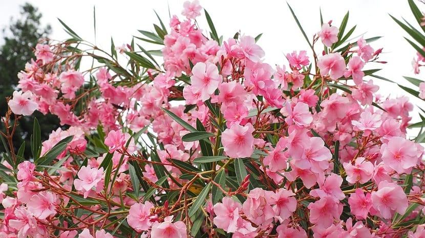 La adelfa tiene flores largas y hojas de color verde oscuro durante gran parte del ano