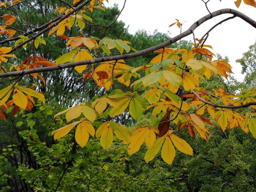 Aesculus turbinata en otoño.