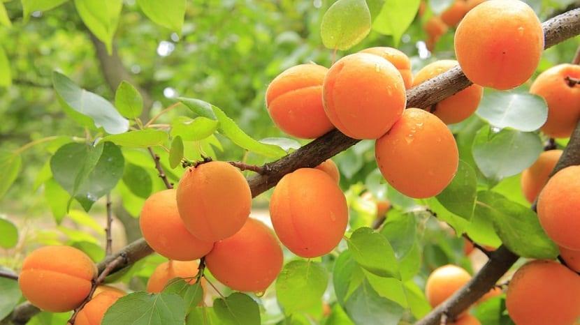 El nombre original que se la había dado antiguamente al albaricoque era Prunus armeniaca