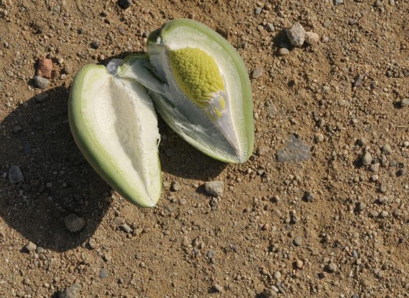 Fruto de la Araujia
