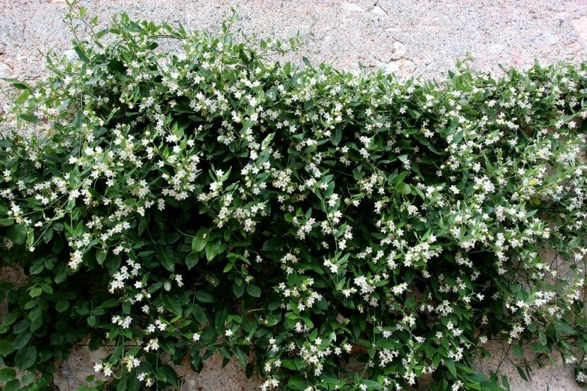 Planta de la Araujia