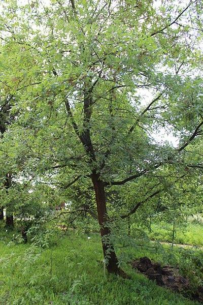 Vista del árbol de Quercus pyrenaica