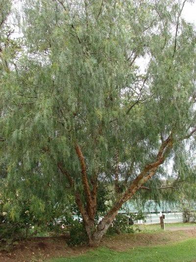 Árbol de Schinus molle