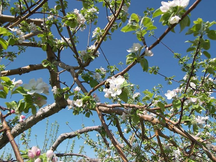 La polinizacion de arboles frutales