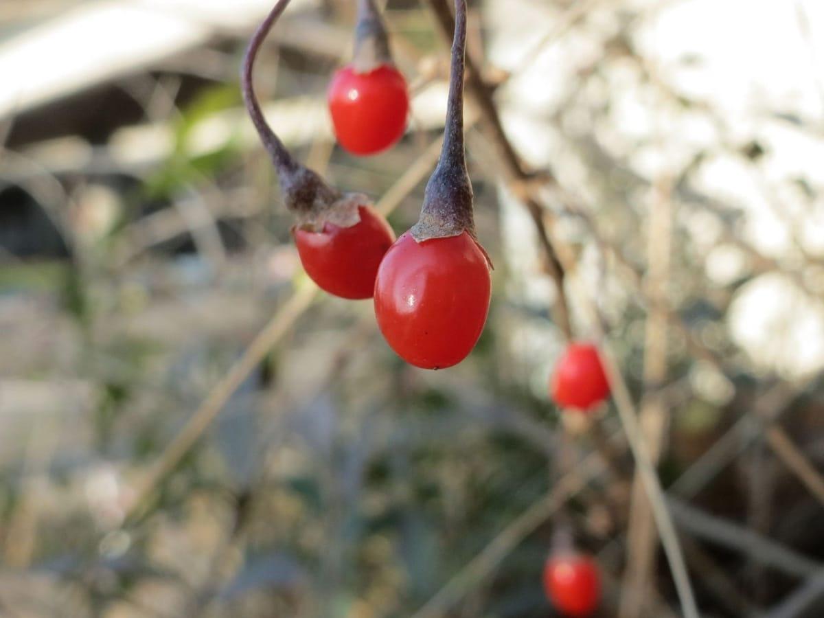 Las bayas de goji tienen propiedades antioxidantes