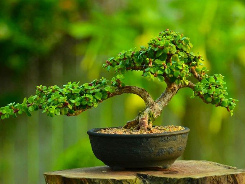 La Portulacaria afra se puede trabajar como bonsái