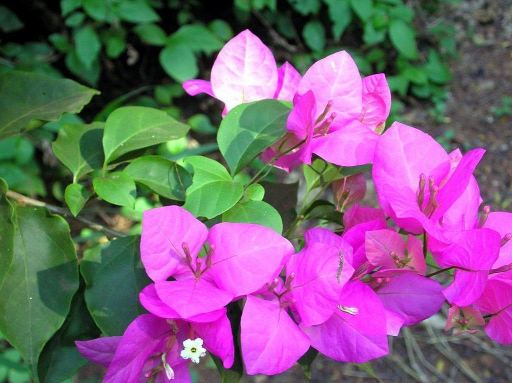 Las flores de la buganvilla son actinomorfas