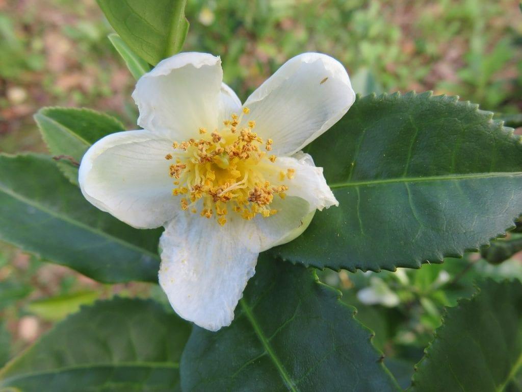 La Camellia sinensis es un arbusto