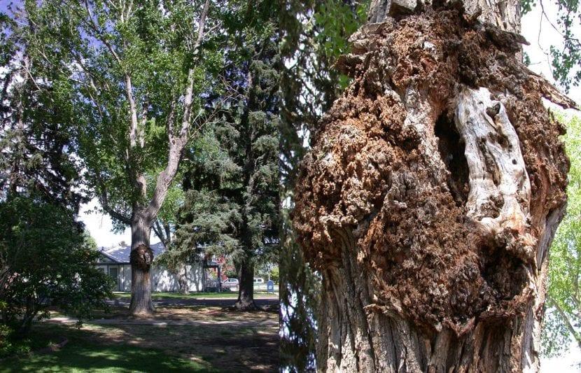 Cáncer en árbol