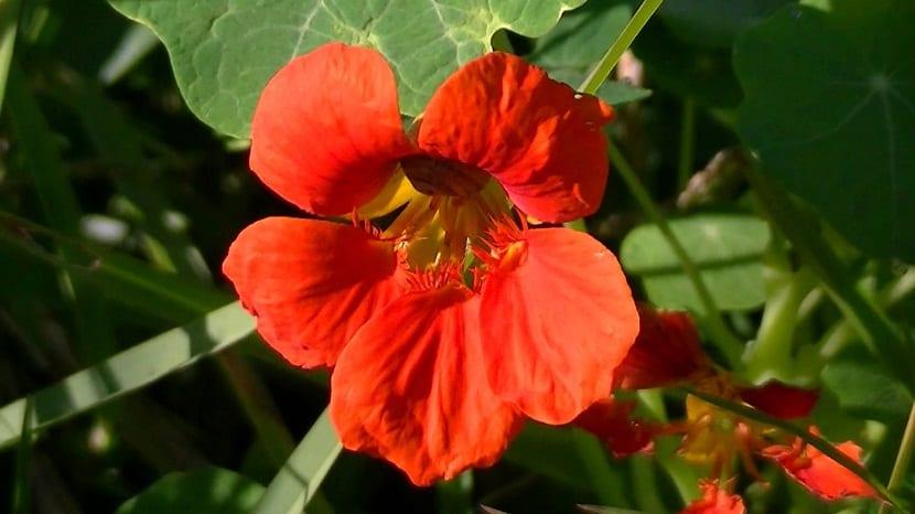Características de la planta Tropaeolum majus