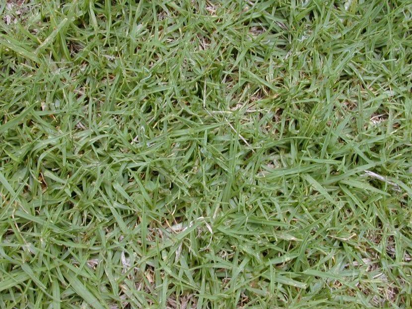 Césped con Pennisetum clandestinum