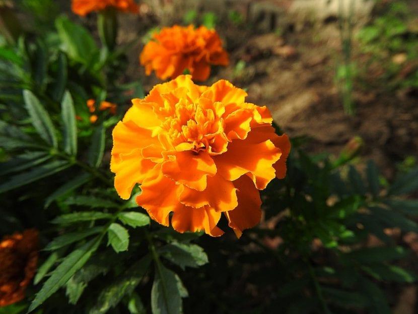 El clavel chino es una bonita flor compuesta