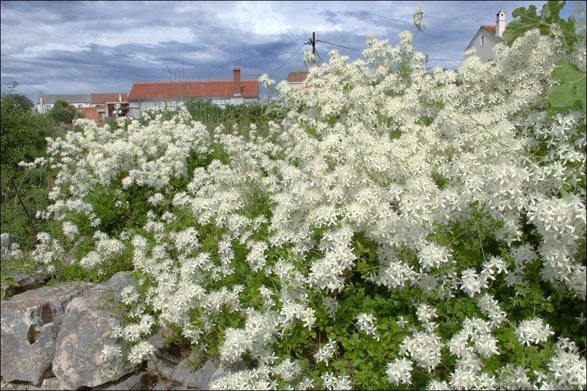 Planta de Clematis flammula