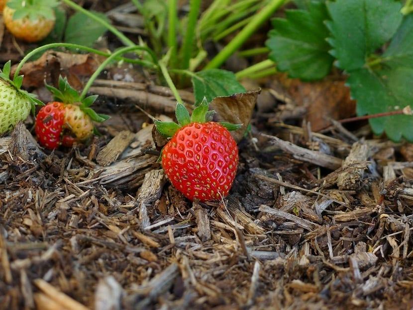 ¿Como cultivar fresas de raices desnudas?