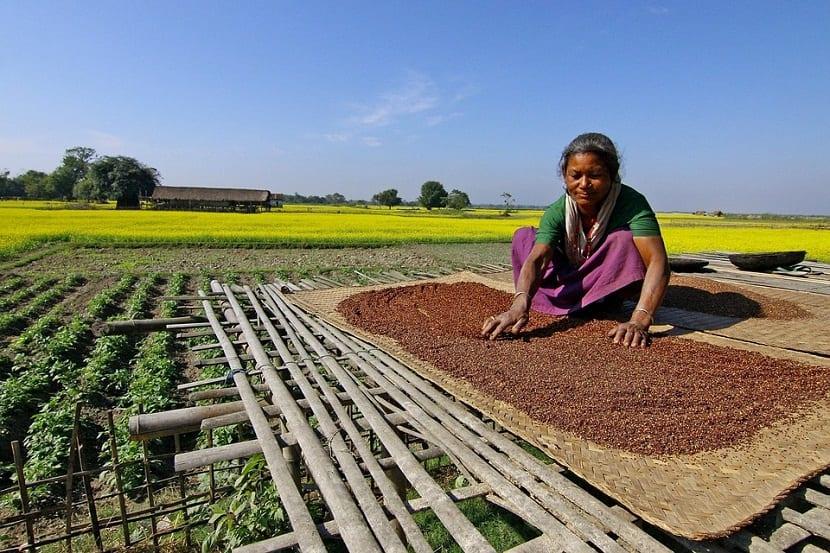 La semilla de mostaza se debe cosechar antes de que las vainas se vuelvan tan frágiles que se rompan