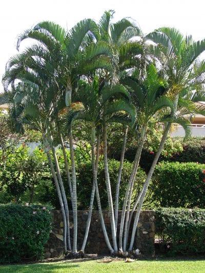 La areca o Dypsis lutescens, la palmera más popular | Jardineria On