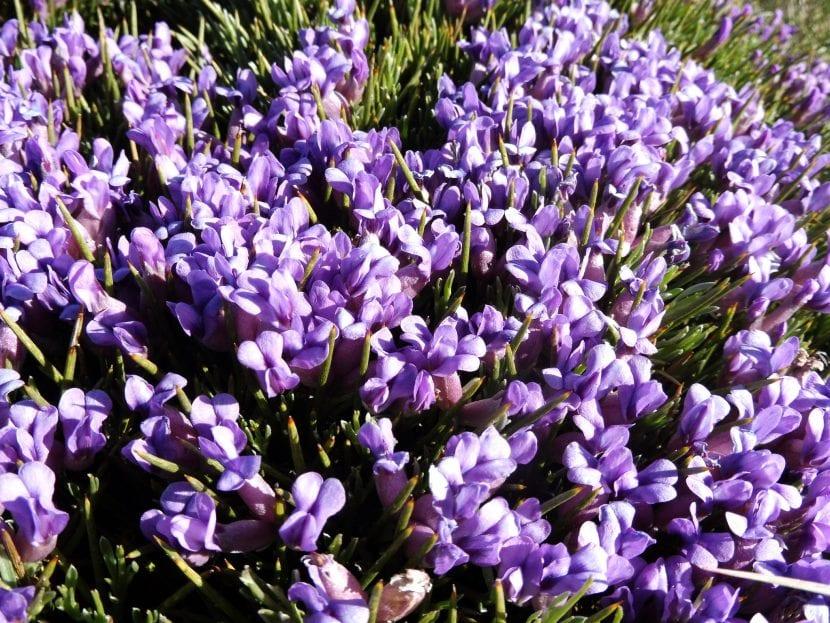 Flores de erinacea