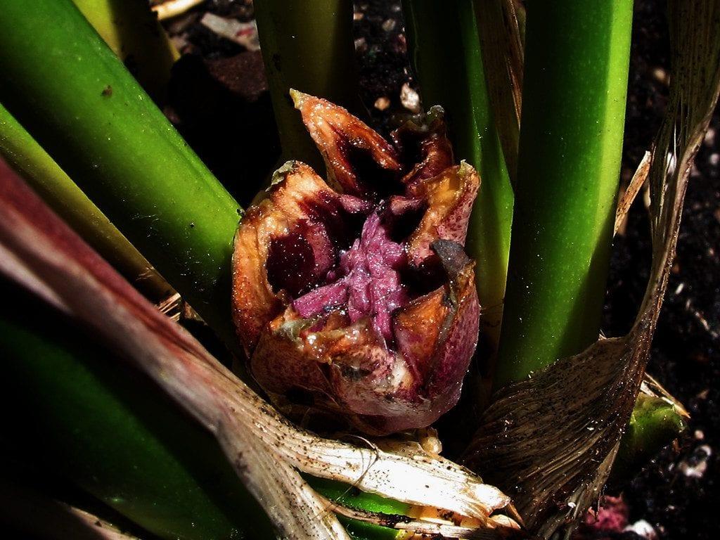 La flor de aspidistra pasa desapercibida