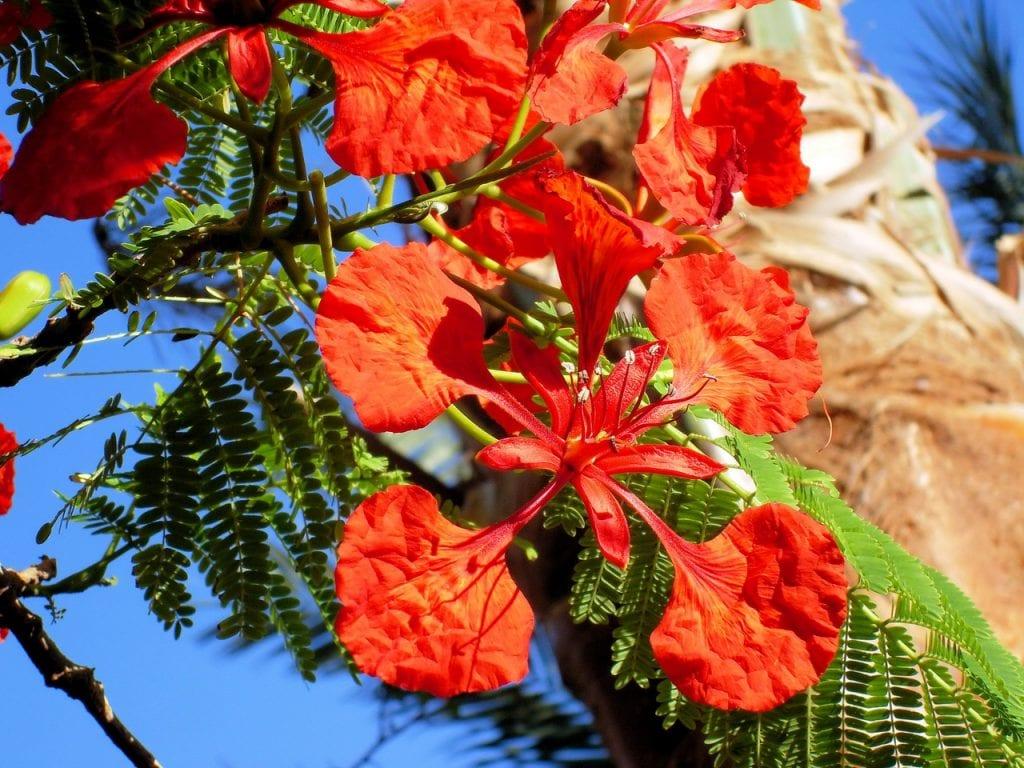 La flor del flamboyan son rojas