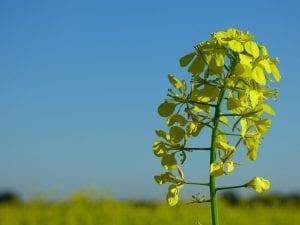 La mostaza es una planta comestible originaria de las regiones templadas de Europa
