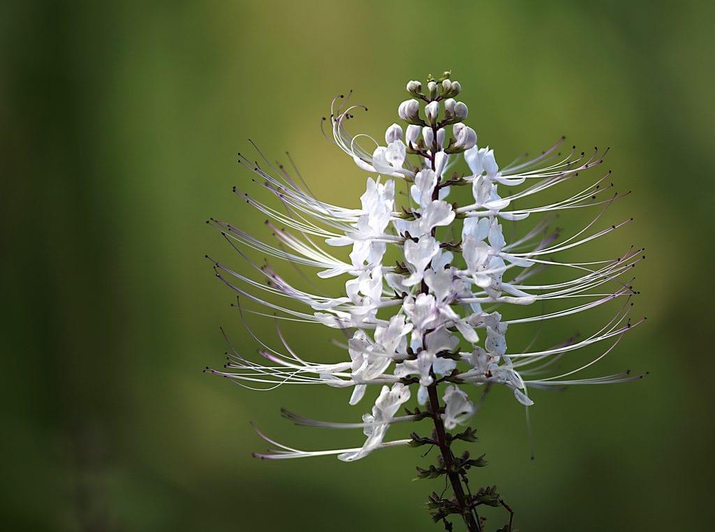 La flor de ortosifón es blanca