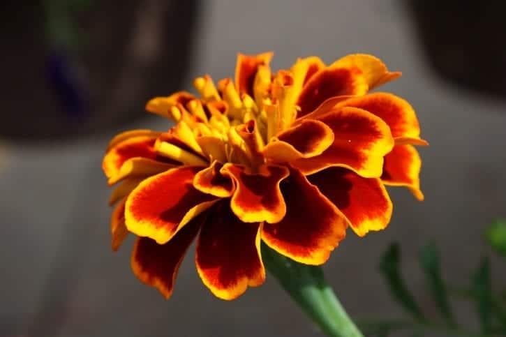 Las flores de los tagetes pueden ser de un solo color o de varios