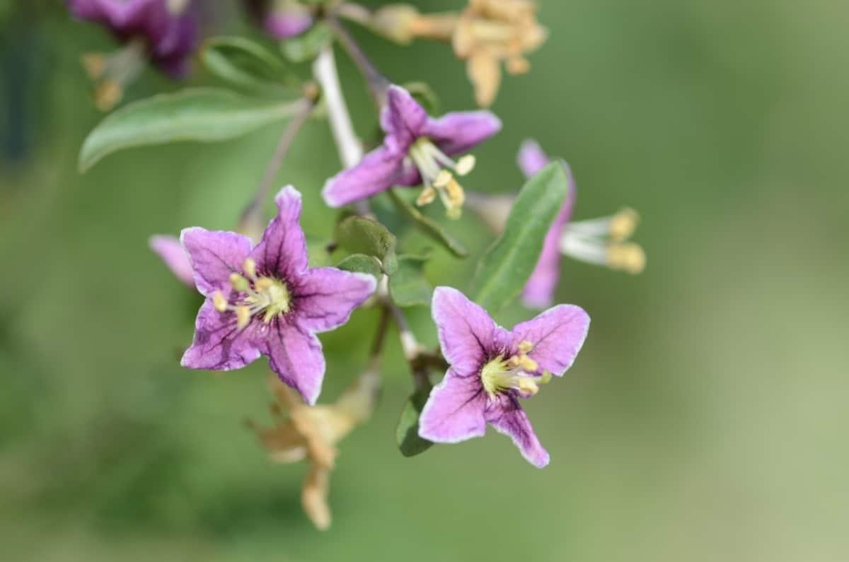 Las flores del goji son rosadas o violetas