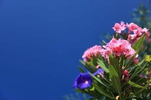 Nerium oleander, comúnmente conocida como Adelfa