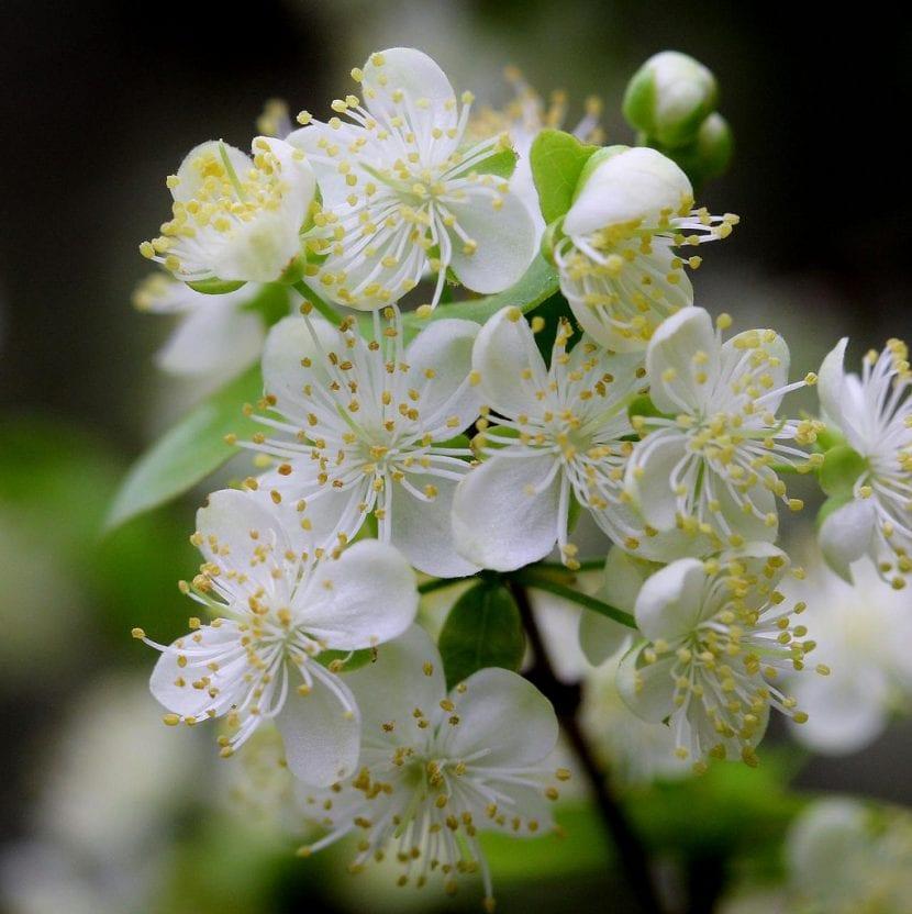 Las flores de la Eugenia uniflora son blancas