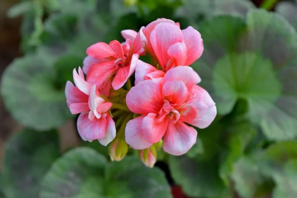 El geranio es una flor actinomorfa