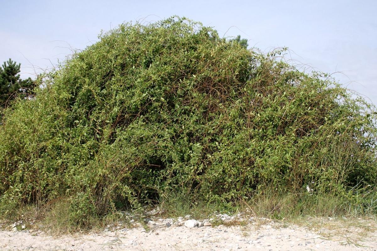 El goji es un arbusto de hoja caduca