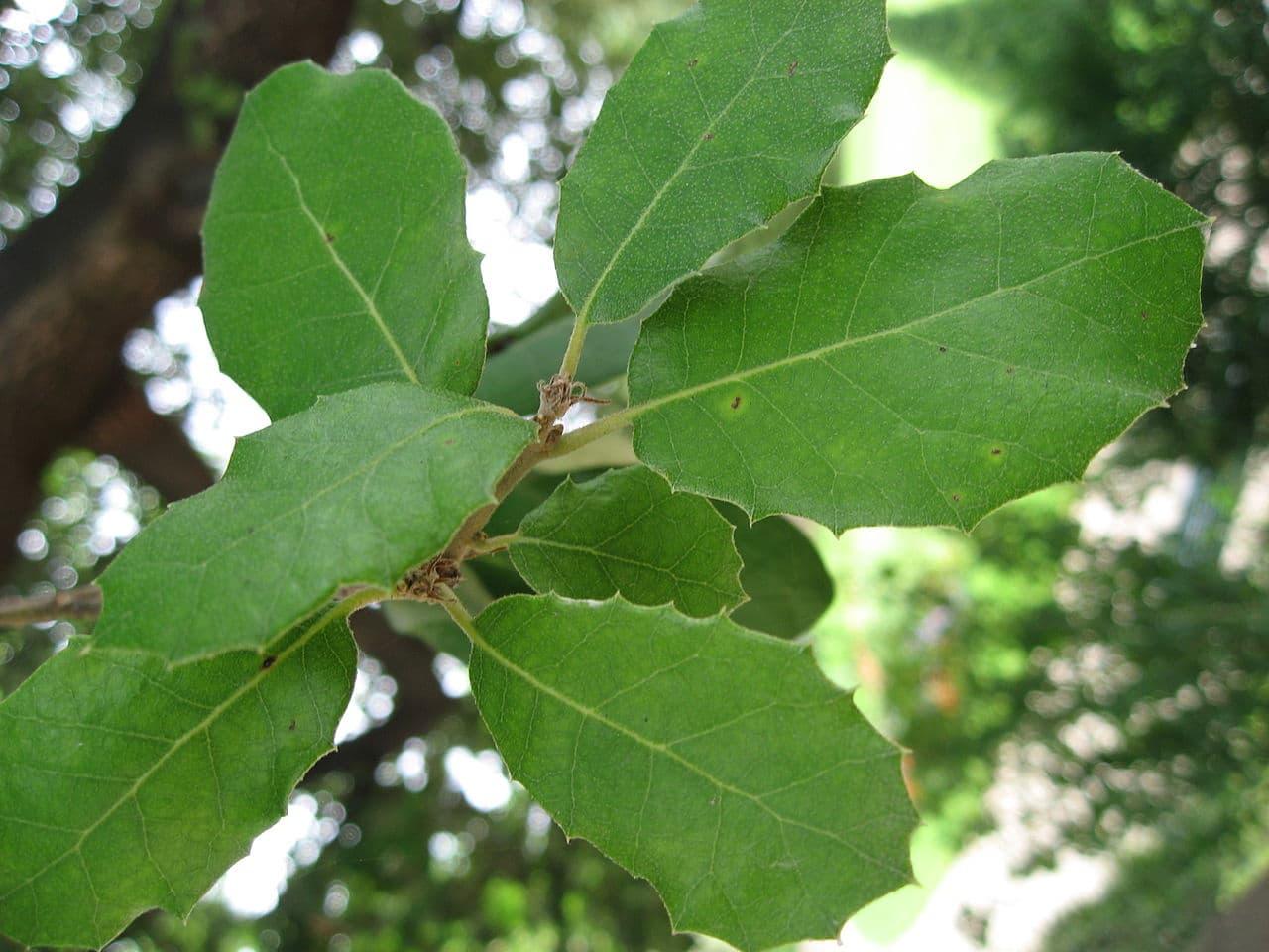 La encina es un árbol perenne