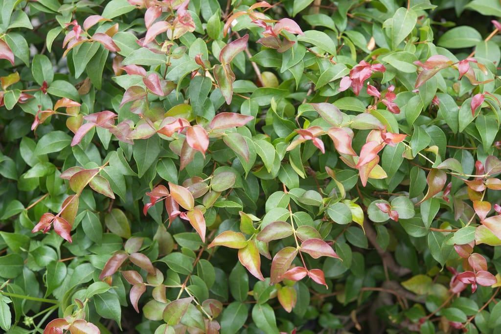 La Eugenia uniflora es una planta de jardín muy decorativa