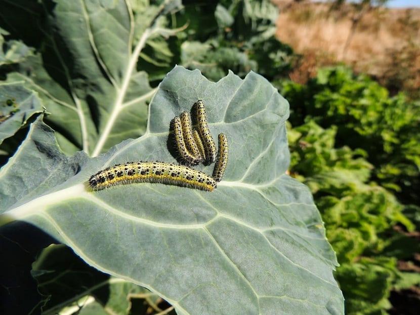 eliminar o prevenir la mariposa de la col