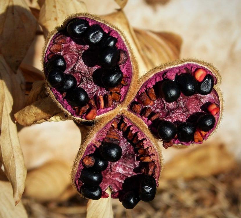 Las semillas de la Rosa de Alejandría son negras