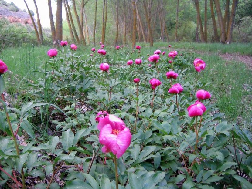 La Rosa de Alejandría se encuentra en claros de bosque
