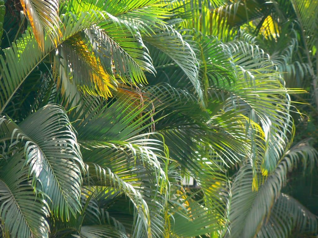 La palmera Dypsis lutescens es una estupenda planta de jardín