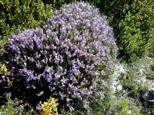 Planta erinacea